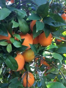 Naranjas de Palma del Río